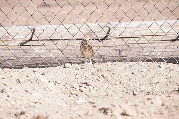 Single burrowing owl